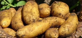 فوائد سیب زمینی در درمان زخم ها و سوختگی ها